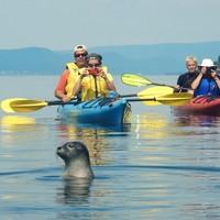 Kayak avec les phoques